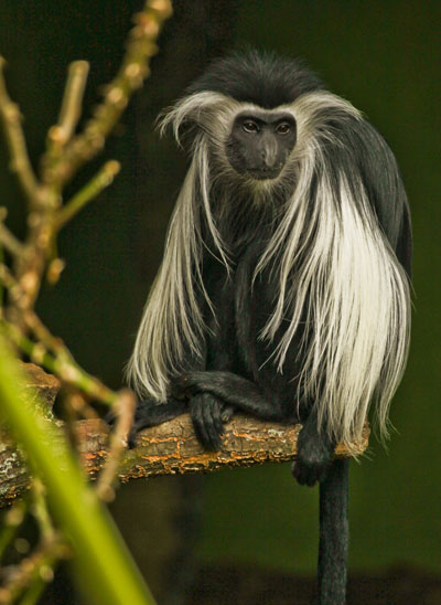 Angolan Black and White Colobus Monkeys