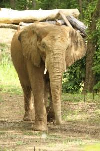African-Bull-Elephant-Rev