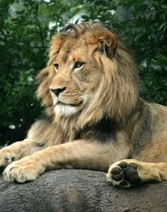 African-Lion-Rev