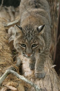 Bobcat-rev