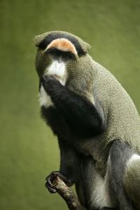 De-Brazzas-Monkey-rev