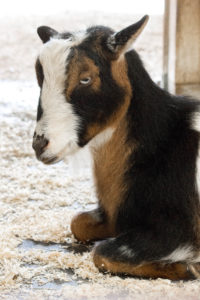 Dwarf Nigerian Goat | Birmingham Zoo