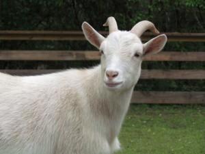 Dwarf-Nigerian-Goat-rev