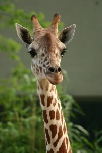 Giraffe-rev