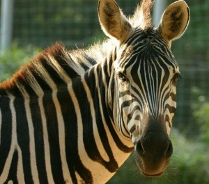 Grants-Zebra-rev