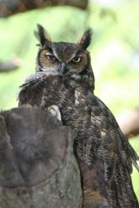 Great-Horned-Owl-rev