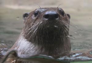 North-American-River-Otter-rev