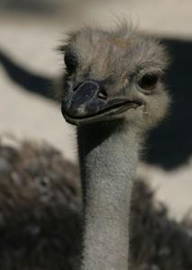 Ostrich-rev