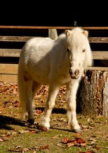 Pony-rev