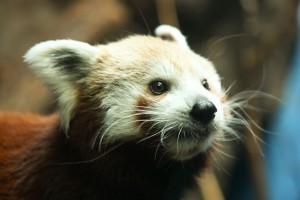 Red-Panda-rev