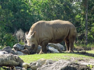 Southern-White-Rhinocerous-rev