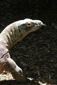 komodo-dragon-rev