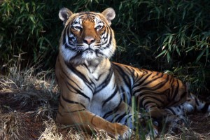 malayan-tiger-rev