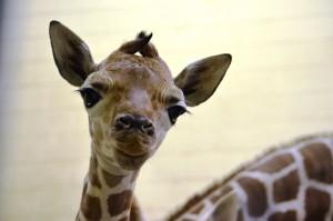 Baby-Giraffe1