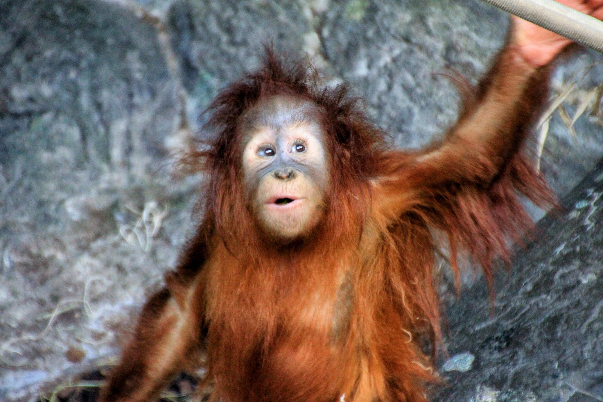 Sumatran Orangutan (2)