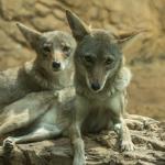 coyotes 1