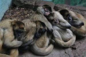 monkey snooze