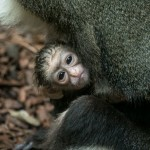 Baby De Brazza's Monkey (1)