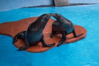 California Sea Lion 'Farley and Gio' 002 Birmingham Zoo 10-2-15 (800x533)