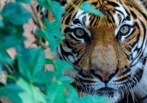 Malayan Tiger 'Kumar' 007 Birmingham Zoo 8-6-14 (800x559)