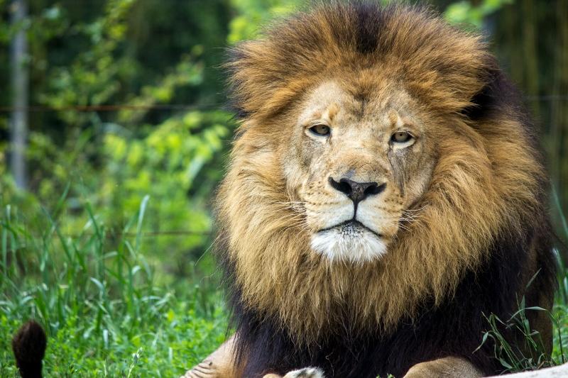 african-lion-kwanza-013-birmingham-zoo-5-16-16-800x533