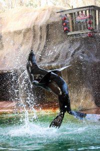 california-sea-lion-gio-001-birmingham-zoo-12-8-14-533x800