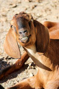 goat-002-birmingham-zoo-12-17-13-533x800