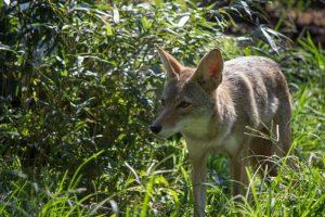 coyote-kaya-002-birmingham-zoo-8-13-15-800x533