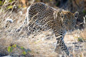 leopard-female-chitabe-4-2